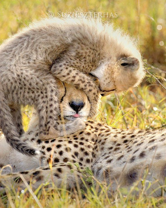 Baby Animal Nursery Decor Funny Baby Cheetah Playing With Mom Photo
