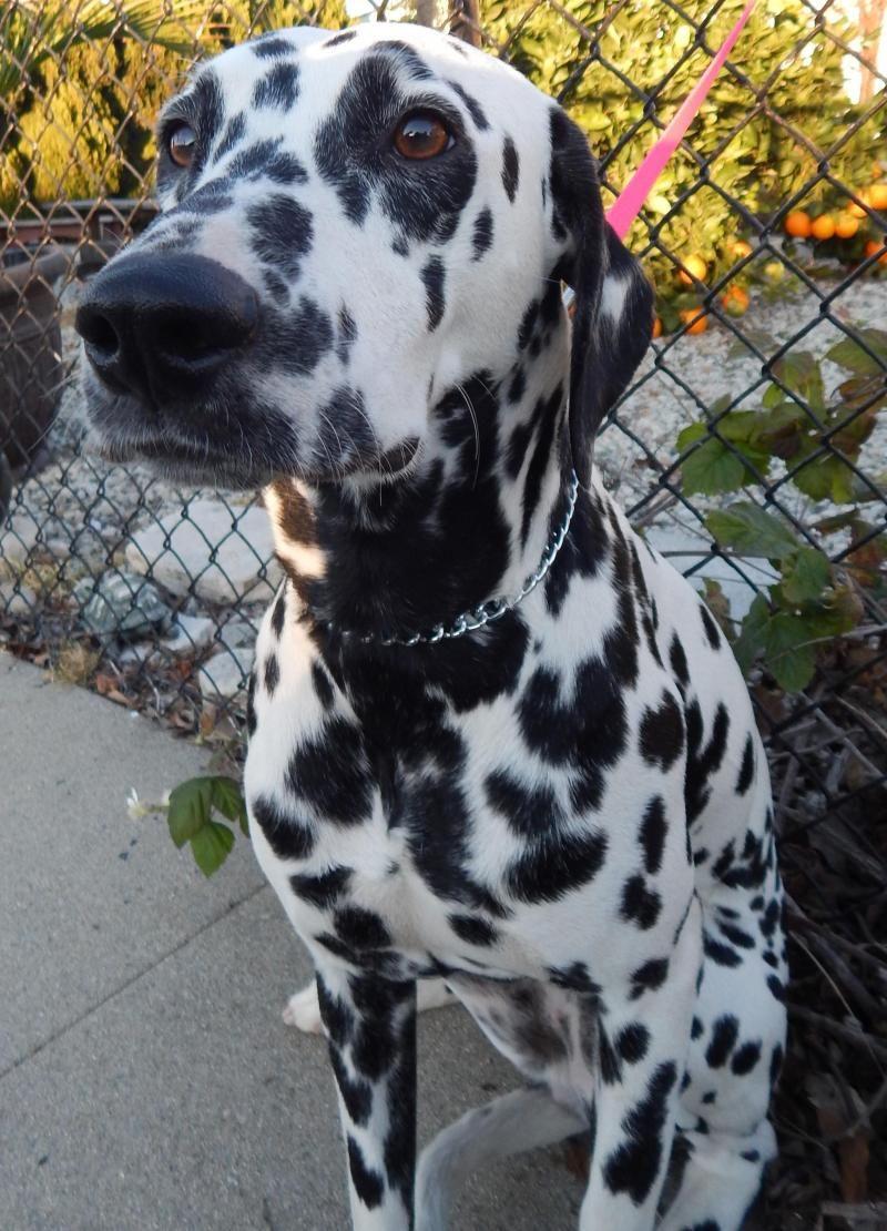 Adopt Dolly On Dog Adoption Dalmatian Dogs