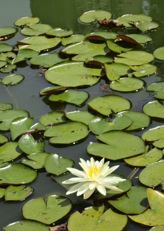 leapin 39 lily pads bronx botanical garden horizons. Black Bedroom Furniture Sets. Home Design Ideas