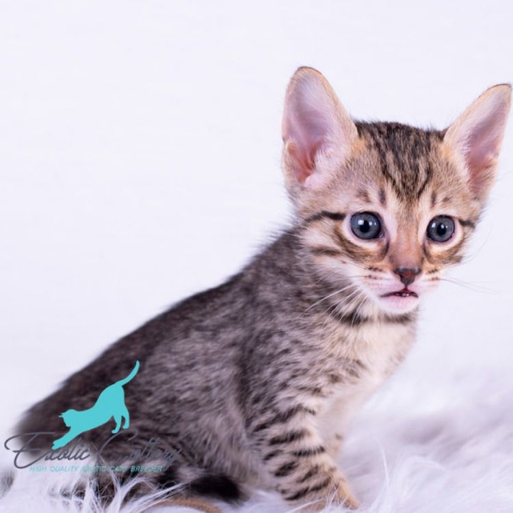 Savannah Cats Available Cats Pet Grooming Baby Dogs