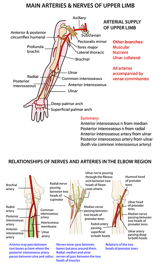 Instant Anatomy - Upper Limb - Nerves - General pattern | Sonography ...