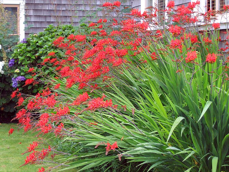 Crocosmia Lucifer I love this plant It reminds me of our