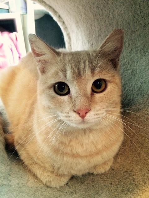 Buffy Is An Adoptable Tabby Buff Searching For A Forever Family Near Wayland Ma Use Petfinder To Find Adoptable Pets In Your A Cat Adoption Tabby Angel Cat