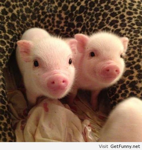 Two sweet little pigs