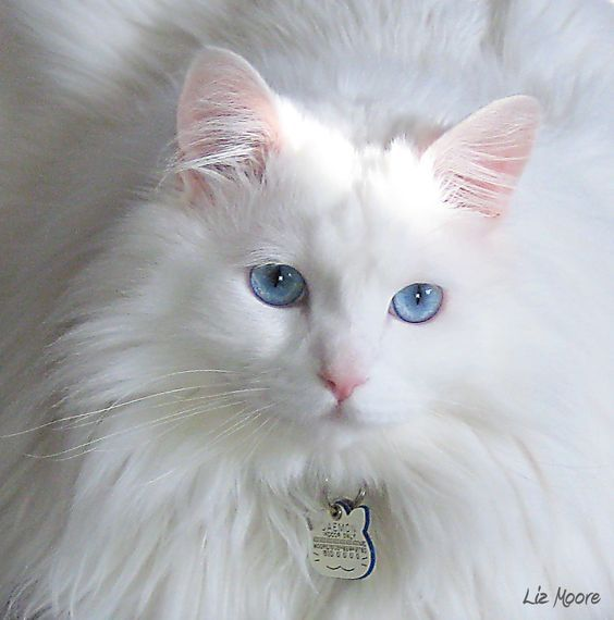 White Norwegian Forest Cat With Blue Eyes Angora Cats Norwegian Forest Cat Cats