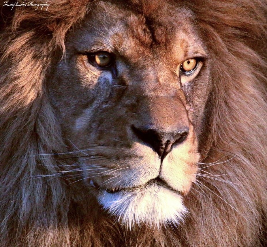 Face of the Lion