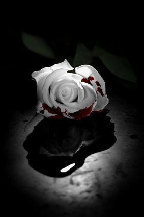 Bleeding Bleeding Rose Rose On Fire Black Rose Flower