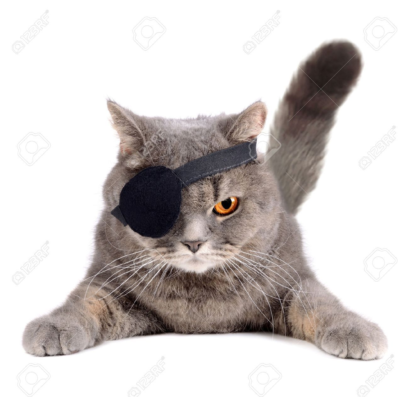 British Cat In Caribbean Pirate Costume With Eye Patch Grumpy Cat Images Cats Funny Cat Pictures