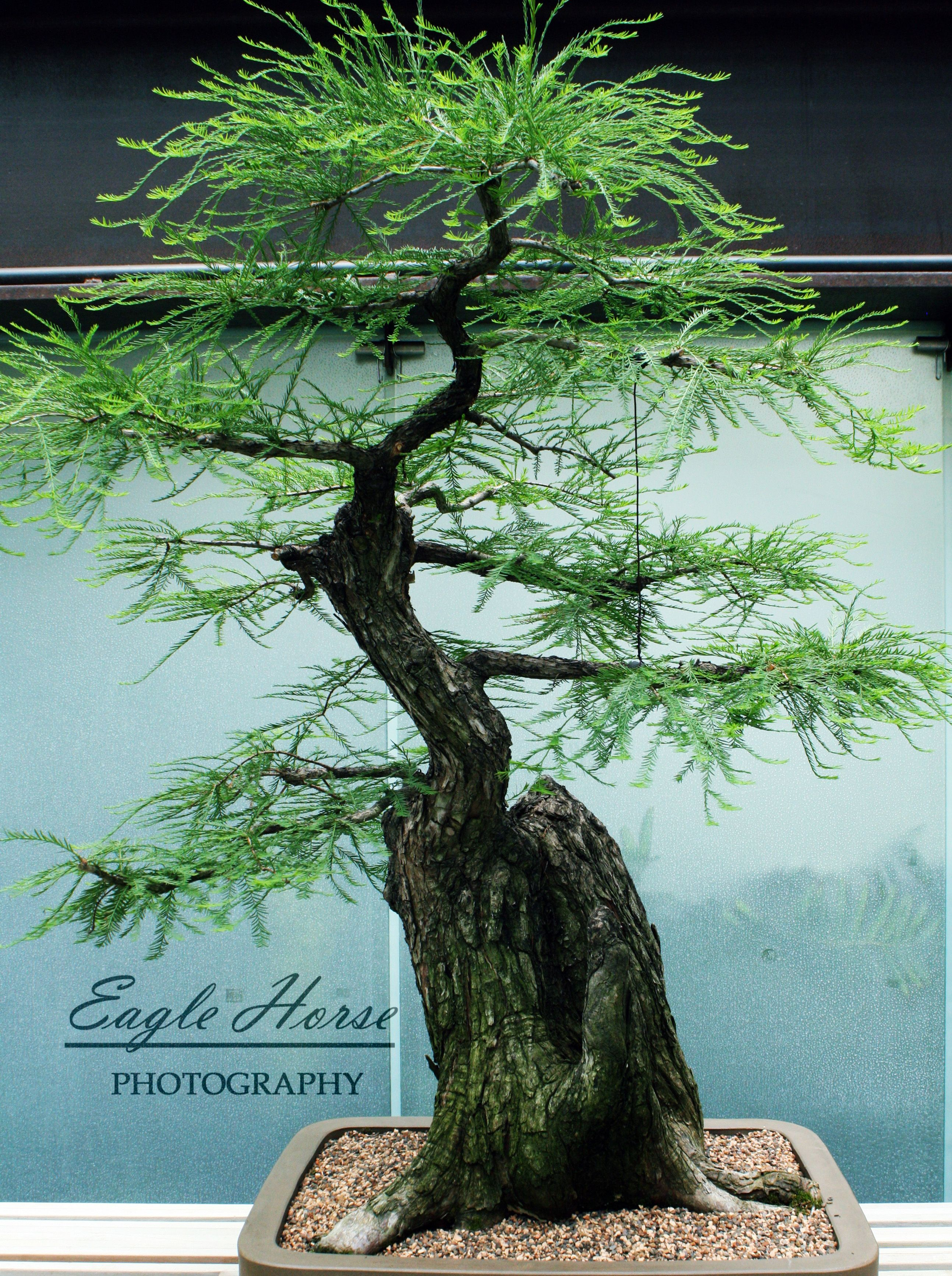 1000 Images About Bonsai Tree On Pinterest
