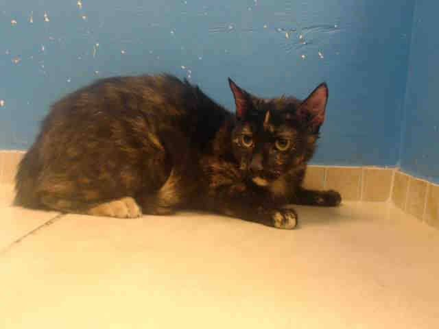 GORGEOUS GIRL!  TO BE DESTROYED 11/5/13 Brooklyn Center  My name is MAY. My Animal ID # is A0983023. I am a female tortie domestic sh mix. The shelter thinks I am about 1 YEAR 1 MONTH old.  I came in the shelter as a STRAY on 10/24/2013 from NY 11201, owner surrender reason stated was STRAY. I came in with Group/Litter #K13-157850. https://www.facebook.com/photo.php?fbid=692572360754599&set=a.576546742357162.1073741827.155925874419253&type=3&theater