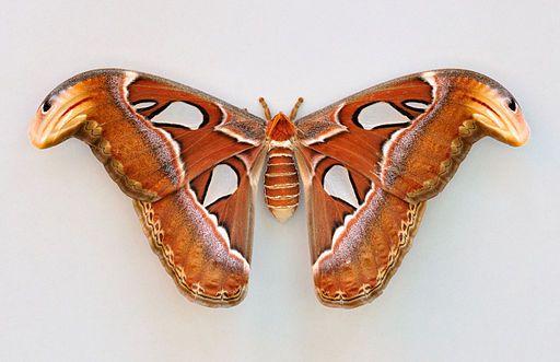 Atlas Moth Largest Butterfly Big Butterfly Butterfly