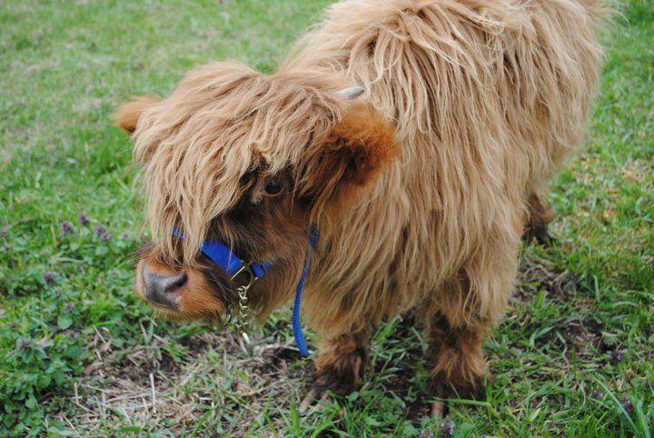 Moshi Mini Scottish Highlander Farm Animals Pets For Sale Hobby Farms