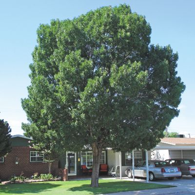 Raywood Ash Fast Growing Desert Trees