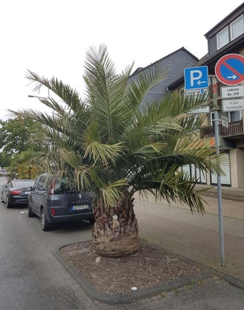Die Jubaea Chilensis In Rheindorf Leverkusen Palmen Garten Pflanzen