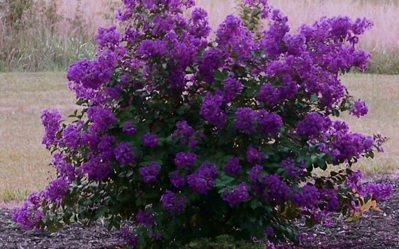 We Are The Oldest Nursery In The Us That Exclusively Grows Crape Myrtles We Are The Original Inventors Of The Pa Dark Purple Flowers Myrtle Tree Crape Myrtle
