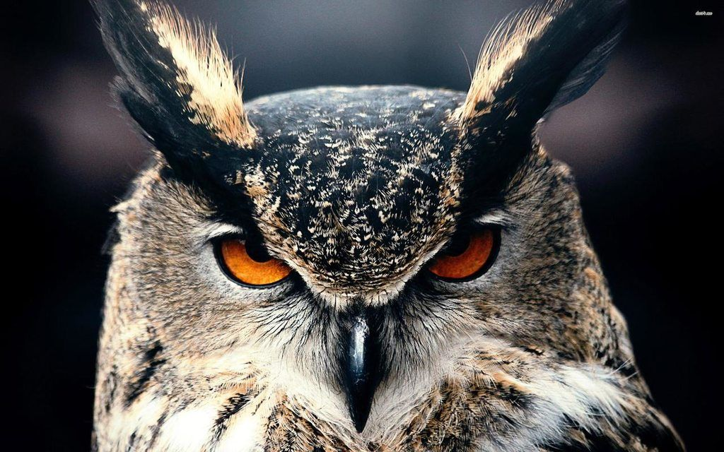 A Very Angry Owl Owl Eyes Owl Wallpaper Horned Owl