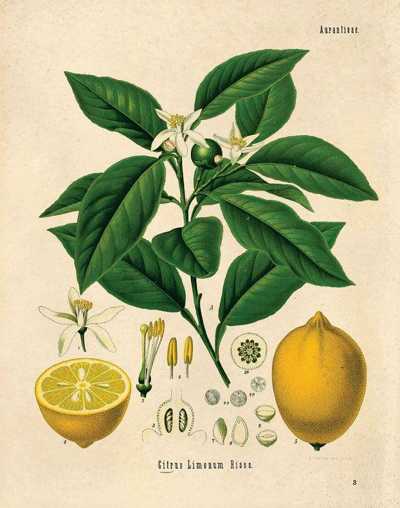 Botanical Lemon Chart Citrus Print. vintage Educational Chart ...
