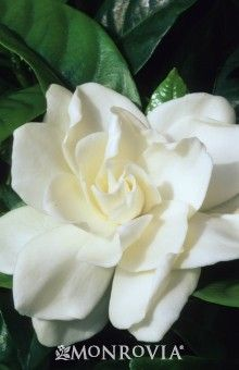 The First Love Gardenia Will Truly Amaze With The Size Of Its