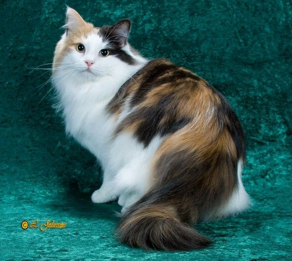 Norwegian Forest Cat The Origin Of This Breed Of Cat Is Largely Unknown And Over The Years Many Theories Have Norwegian Forest Cat Forest Cat Norwegian Forest