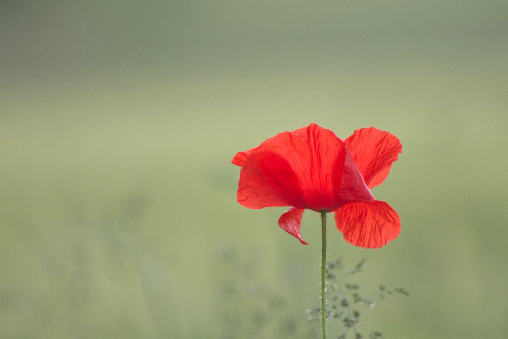 Mohnblume Mohnblume Blumen Mohn