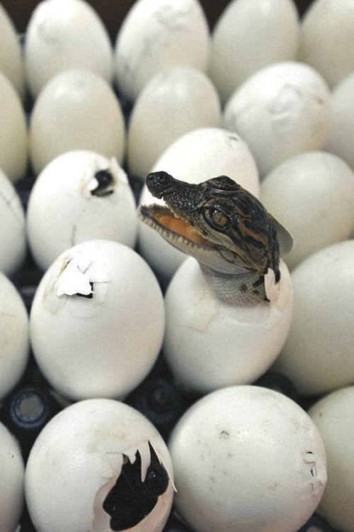 Are they HATCING this things like chicks?!! Exception to the rule that Babies of any kind are cute.  This critter sticking his head out from row of #crocodile / alligator eggs looks ready to bite the first thing that comes near his teeth as reward for removing him from his water side environment. -DdO:} http://www.pinterest.com/DianaDeeOsborne/funky-mood-lifters - FUNKY MOOD LIFTERS for dreary days- a bit of HUMOR & FUN like this picture of a Baby #Only #A #Mother Could #Love. #OnlyAMother