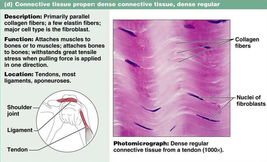 Dense Irregular Connective Tissue Labeled Google Search