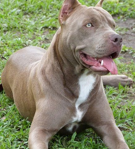 Pin By Jamaico Graham On My Type Of Dogs Pitbulls Dogs Puppies