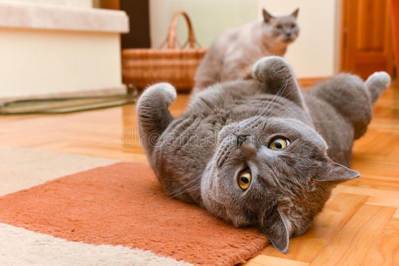 Cats Having Fun British Shorthair Cats Having Fun Indoor Ad British Fun Cats Indoor Cats Ad British Shorthair Cats Cat Stock