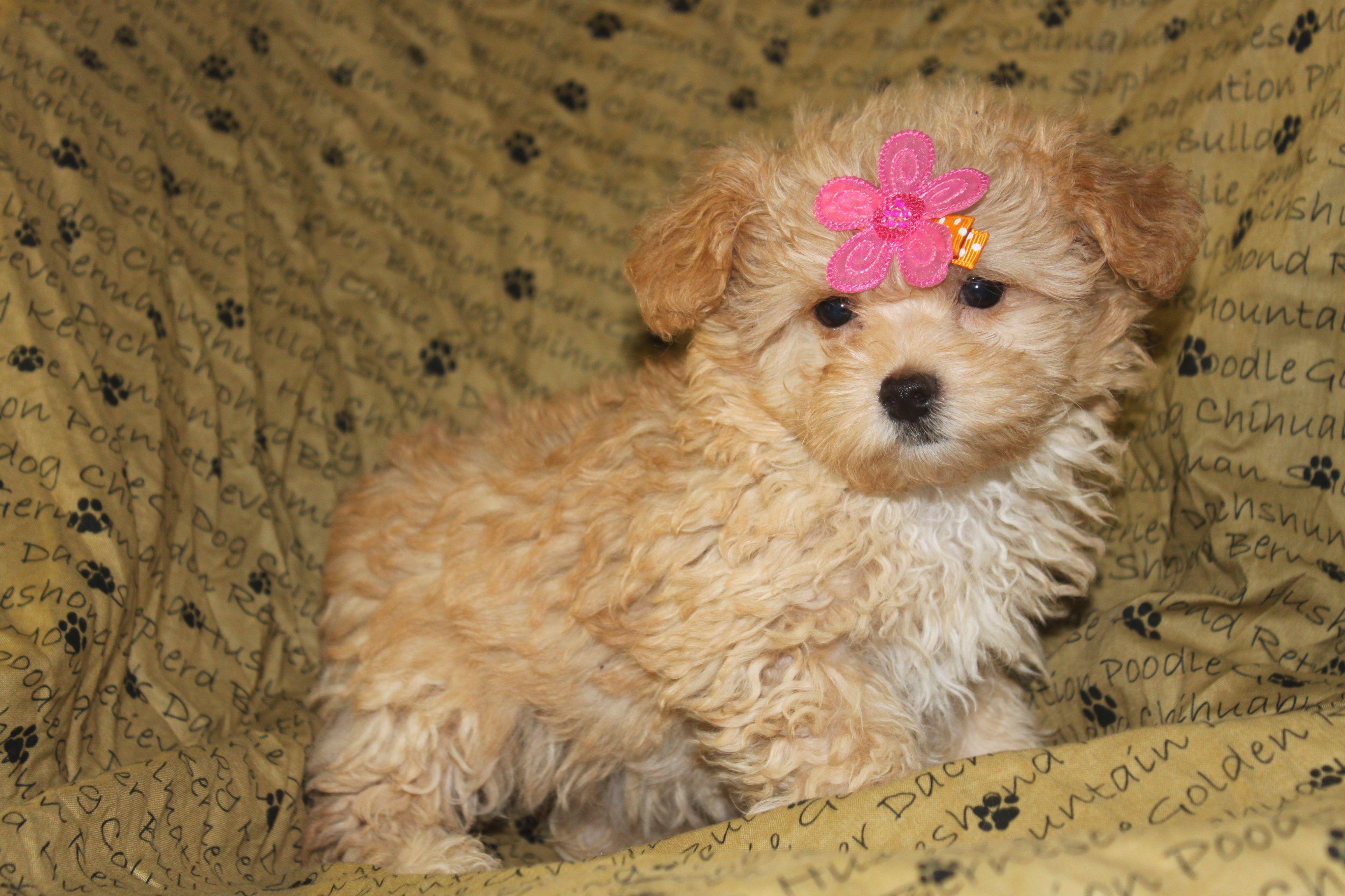 Jacky a female Maltipoo puppy for sale Maltipoo puppy