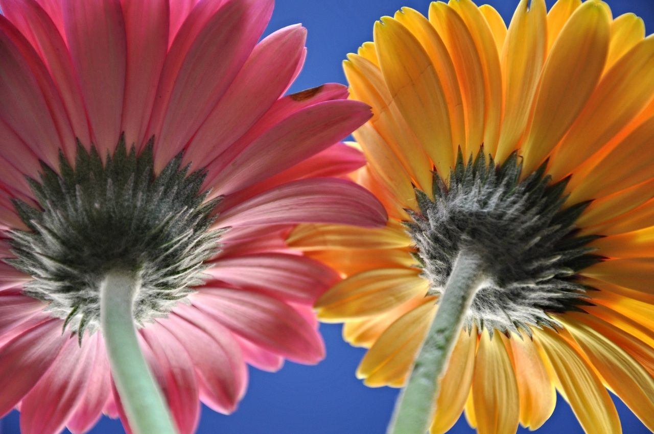 ガーベラ 2 二つ 黄色 ピンク 花 ガーベラ ピンク 花 ガーベラ