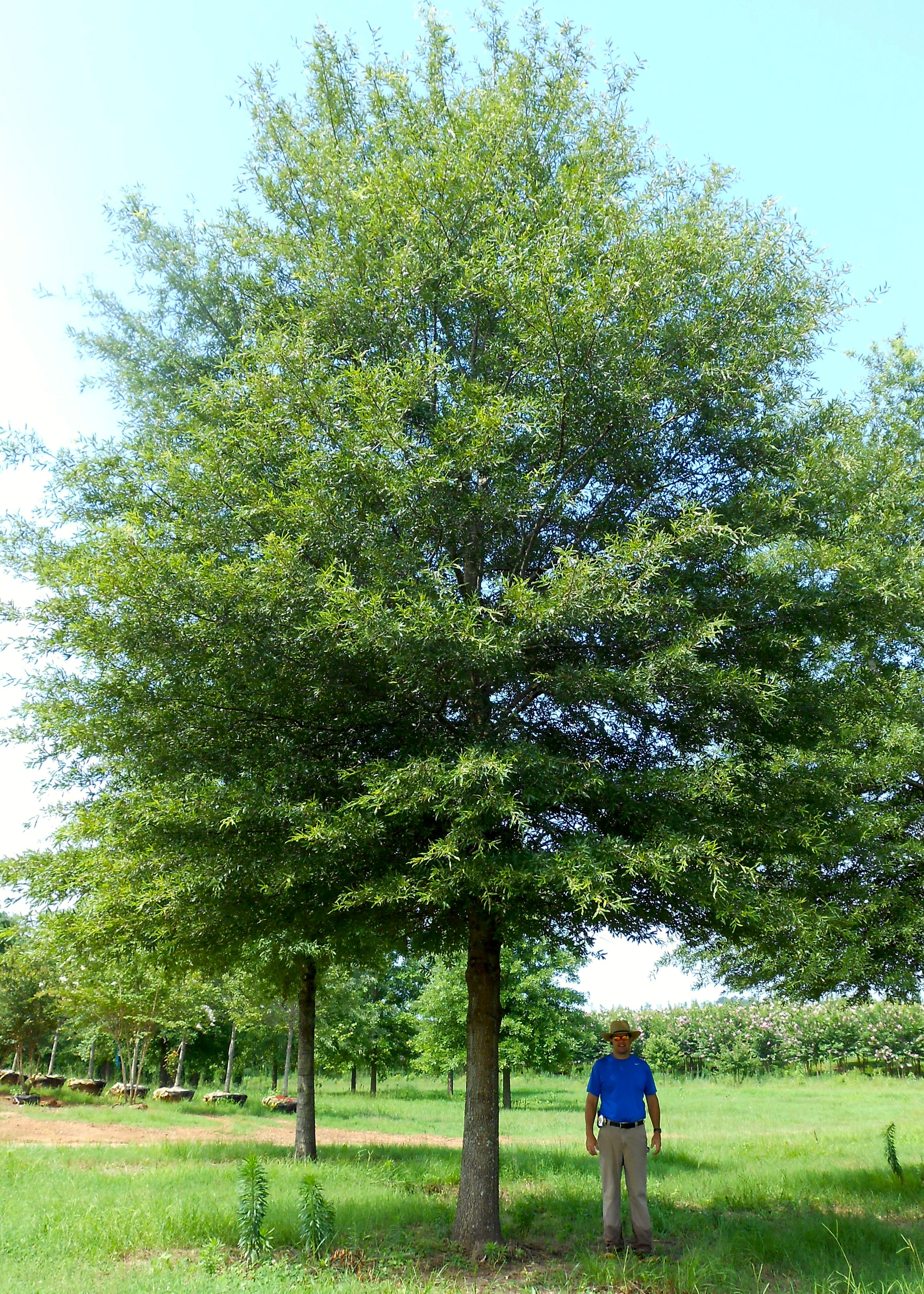 Willow Oak | Shade Trees | Pinterest | Garden trees, Plants and Shrub