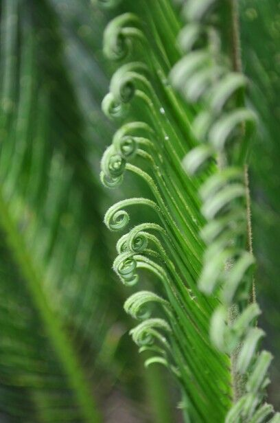 A cycad's new leaves
