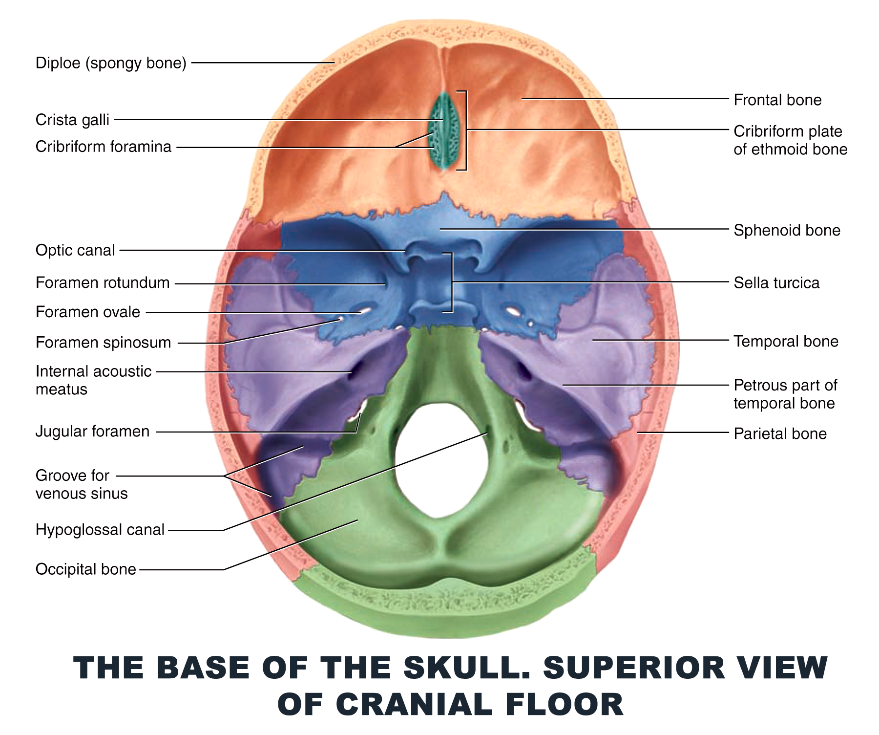 The Base of the Skull. Superior view of cranial floor - #anatomy ...