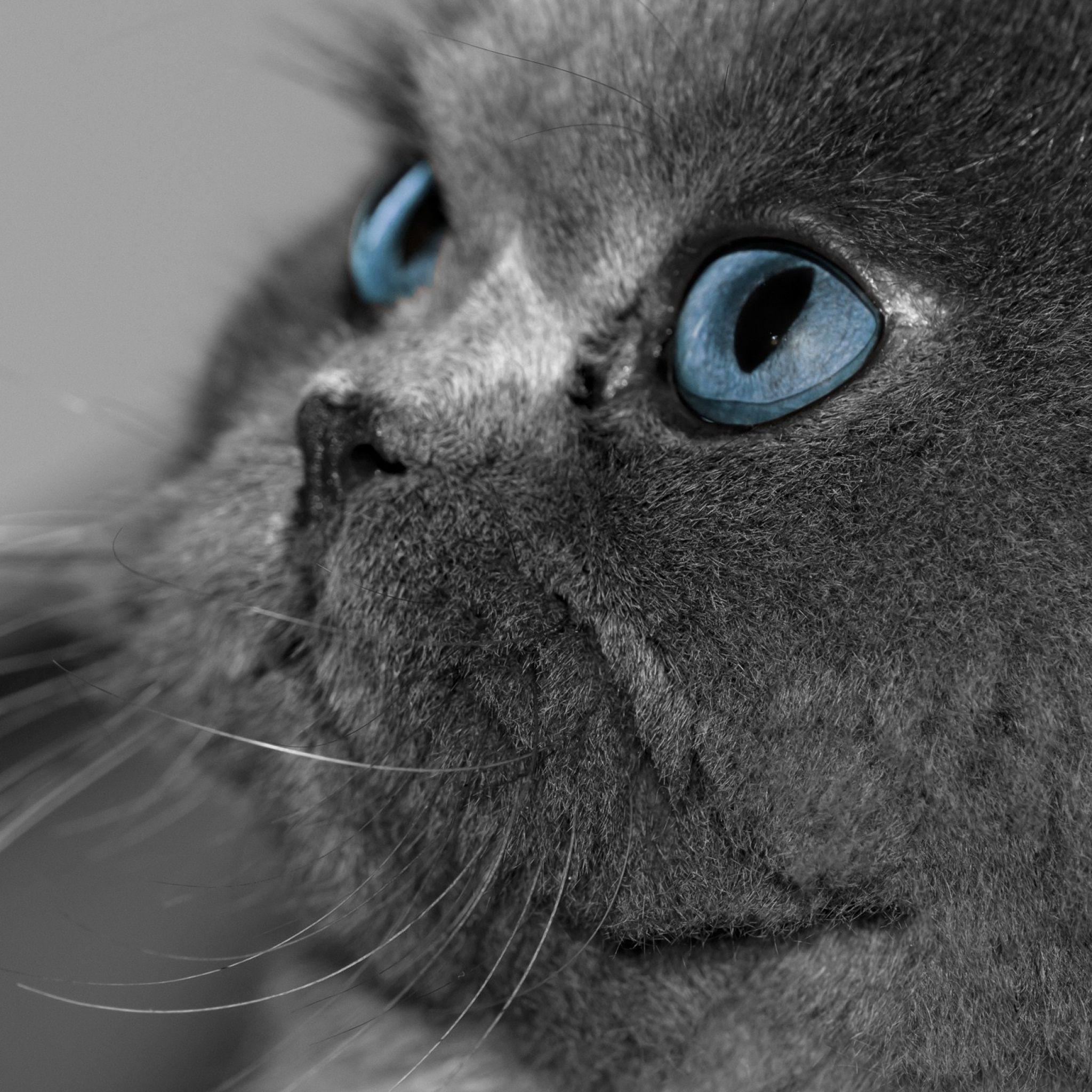 Download Wallpaper 2048x2048 Cat Fluffy Gray Eyes Blue Eyes Profile New Ipad Air 4 3 Ipad Mini Retina H Cat With Blue Eyes Grey Cat Wallpaper Grey Cats
