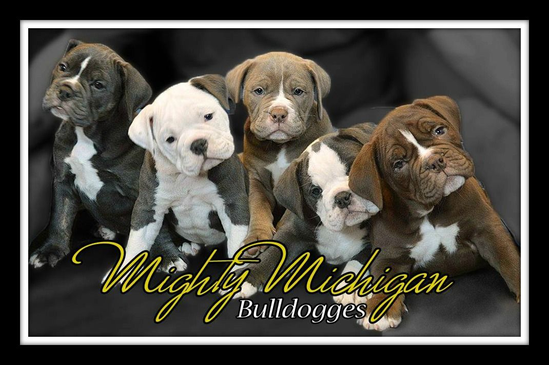One Mighty Litter www.mightymichiganbulldogges