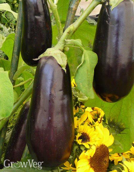 Growing Aubergines In A Hot Bed Eggplant Aubergine Growing Eggplant