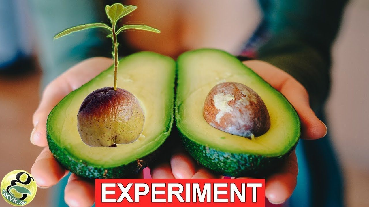 Fastest Hack To Grow Avocado From Seed With Results Growing