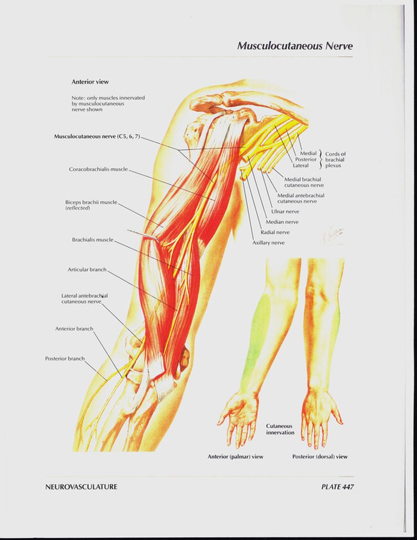 Musculocutaneous Nerve Physical Therapy Pinterest Physical