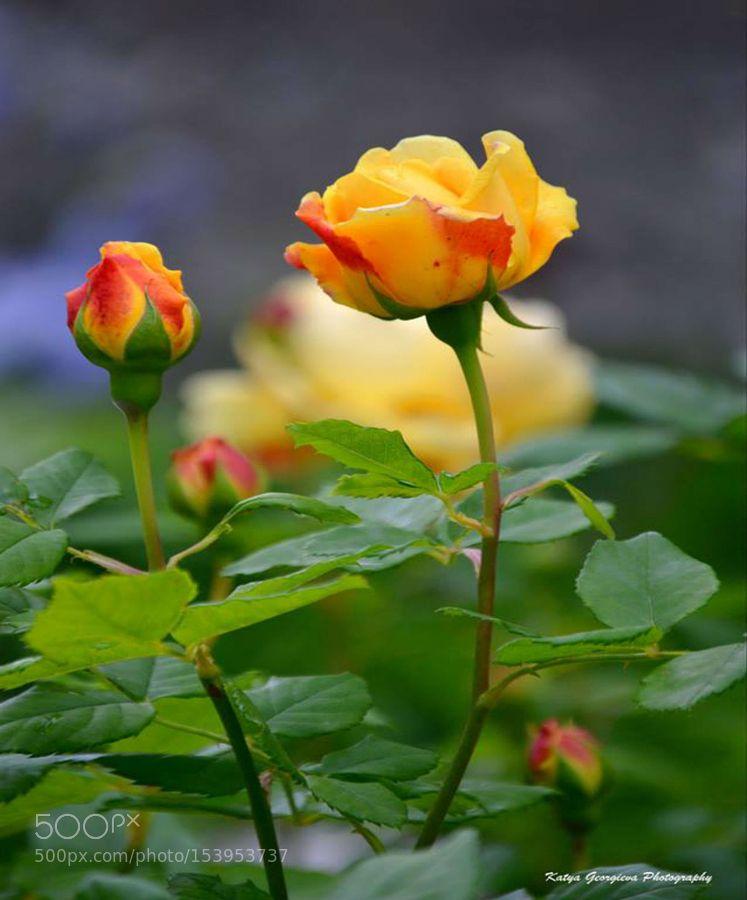 Yellow rose by KatyaGeorgievaPhotography