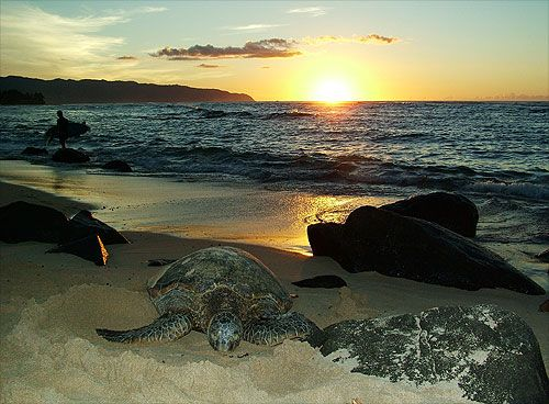 Sunset At Laniakea Beach North S Of Oahu Hawaii Turtle
