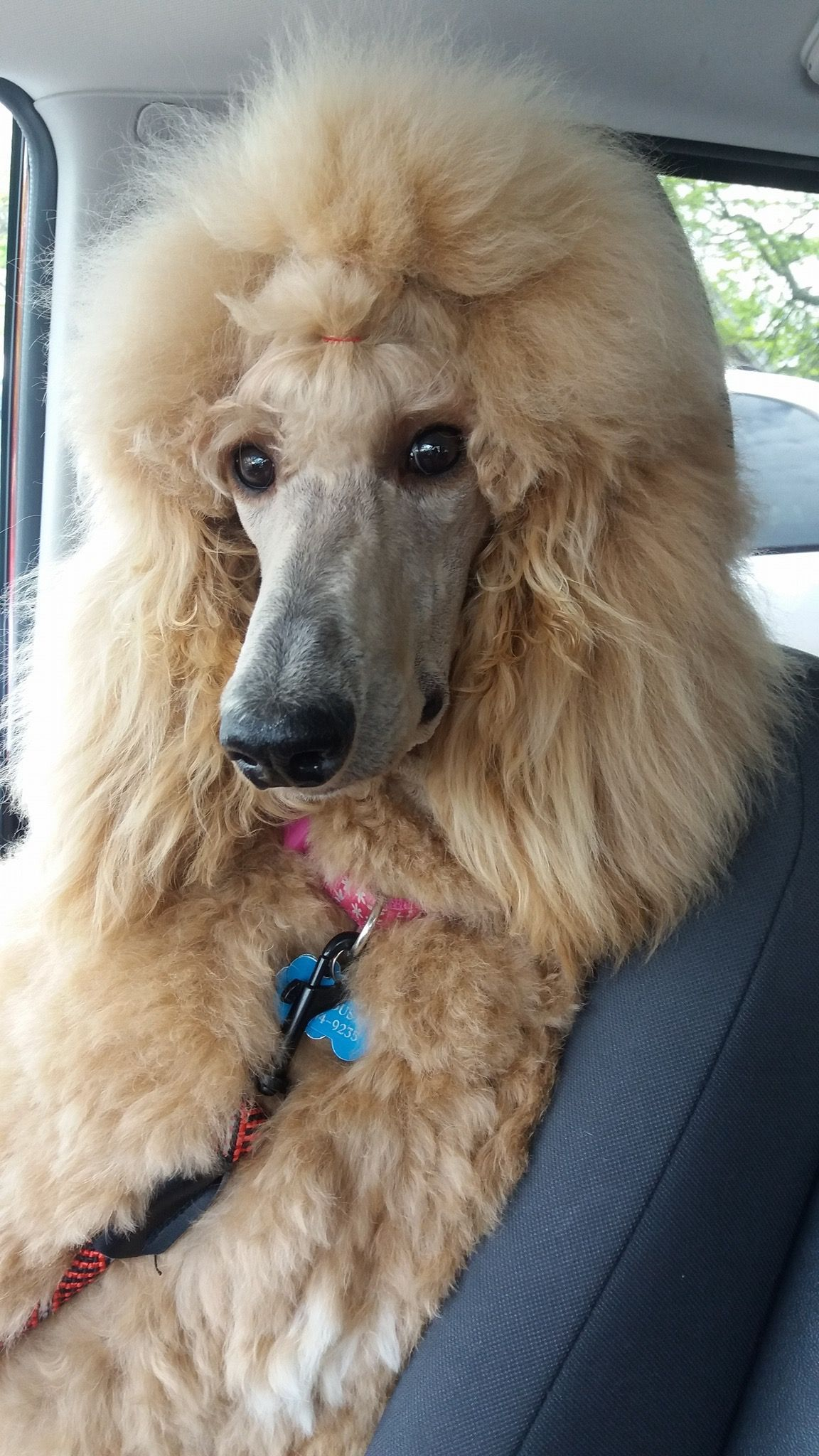 Poodle Yellow Standard Standard Poodle Haircuts Poodle Hair