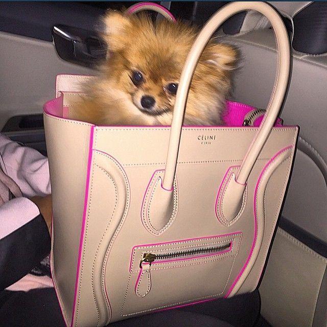 Cute Pomeranian In A Handbag Celine Celine Bag