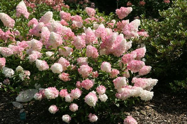 hydrangea paniculata 39 vanille fraise 39 h s 2m large pyramid shaped flower clusers appear in. Black Bedroom Furniture Sets. Home Design Ideas