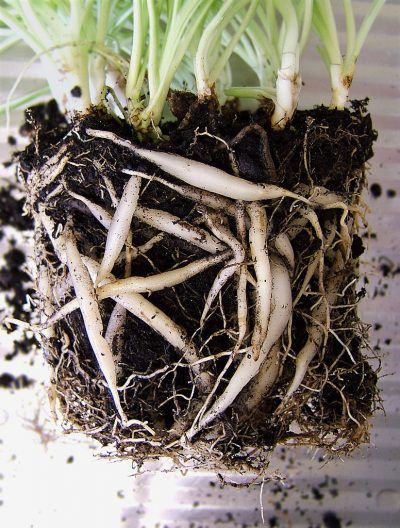 Repotting Spider Plants How Do You Repot A Spider Plant When Should You Repot A Spider Plant These Plant Spider Plant Babies Spider Plants Repotting Plants,Best Dishwasher