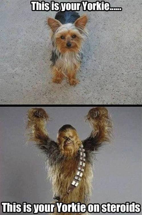 Yorkie Steroids Wookie Yorkie Funny Animals Yorkshire Terrier