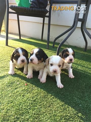 Beagliers For Sale In Muswellbrook Nsw Beagliers Animals Pets Dogs