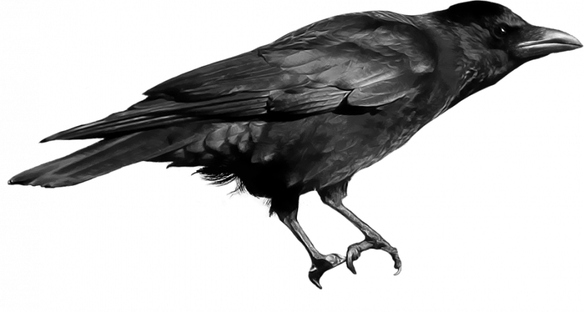 Sitting Crow Png Transparent Imageget To Download Free Crow Png Vector Photo In Hd Quality Without Limit It Comes In Nee Crow Crow Photos Photoshop Textures