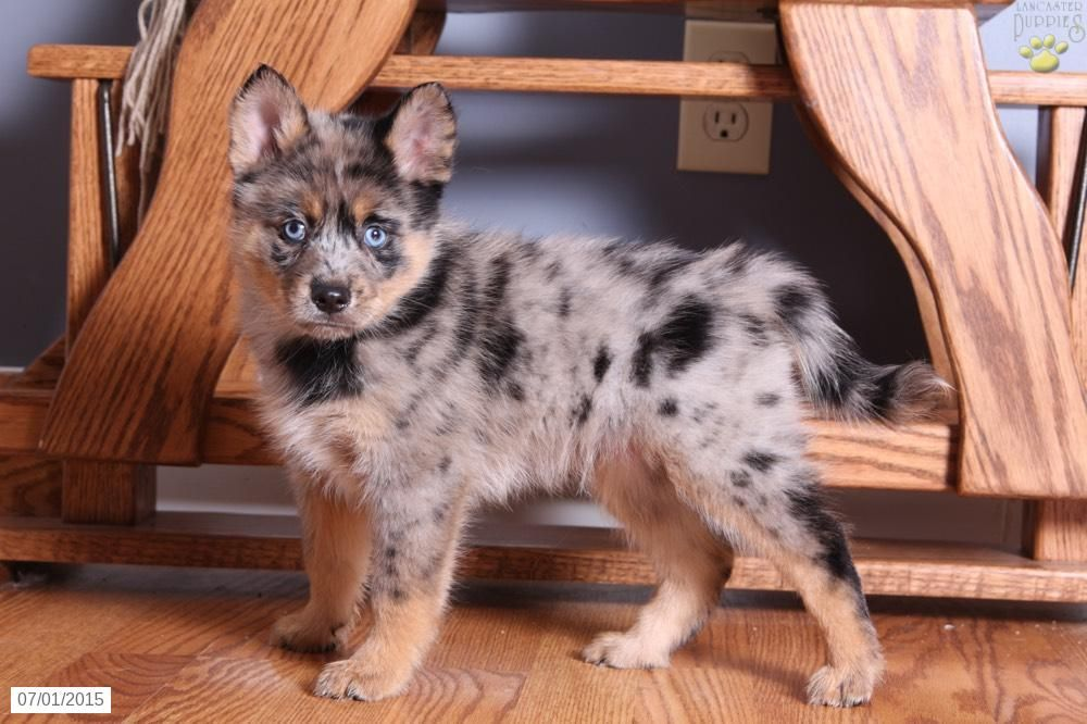 Pomsky Puppy for Sale in Ohio animals Pinterest