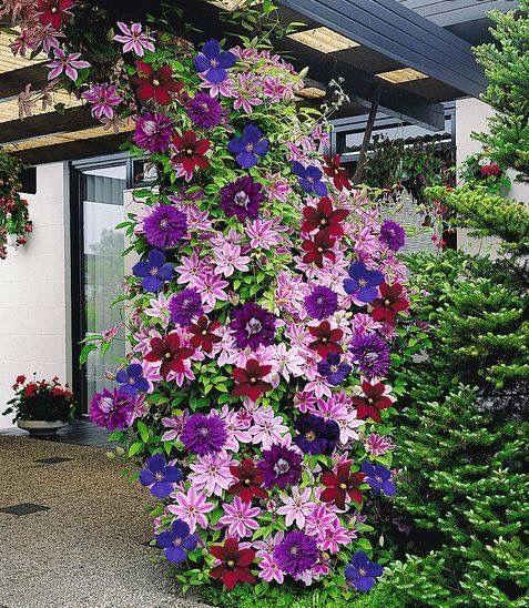 Mixed Clematis Garten \ Träume Pinterest Gärten - baume fur den vorgarten