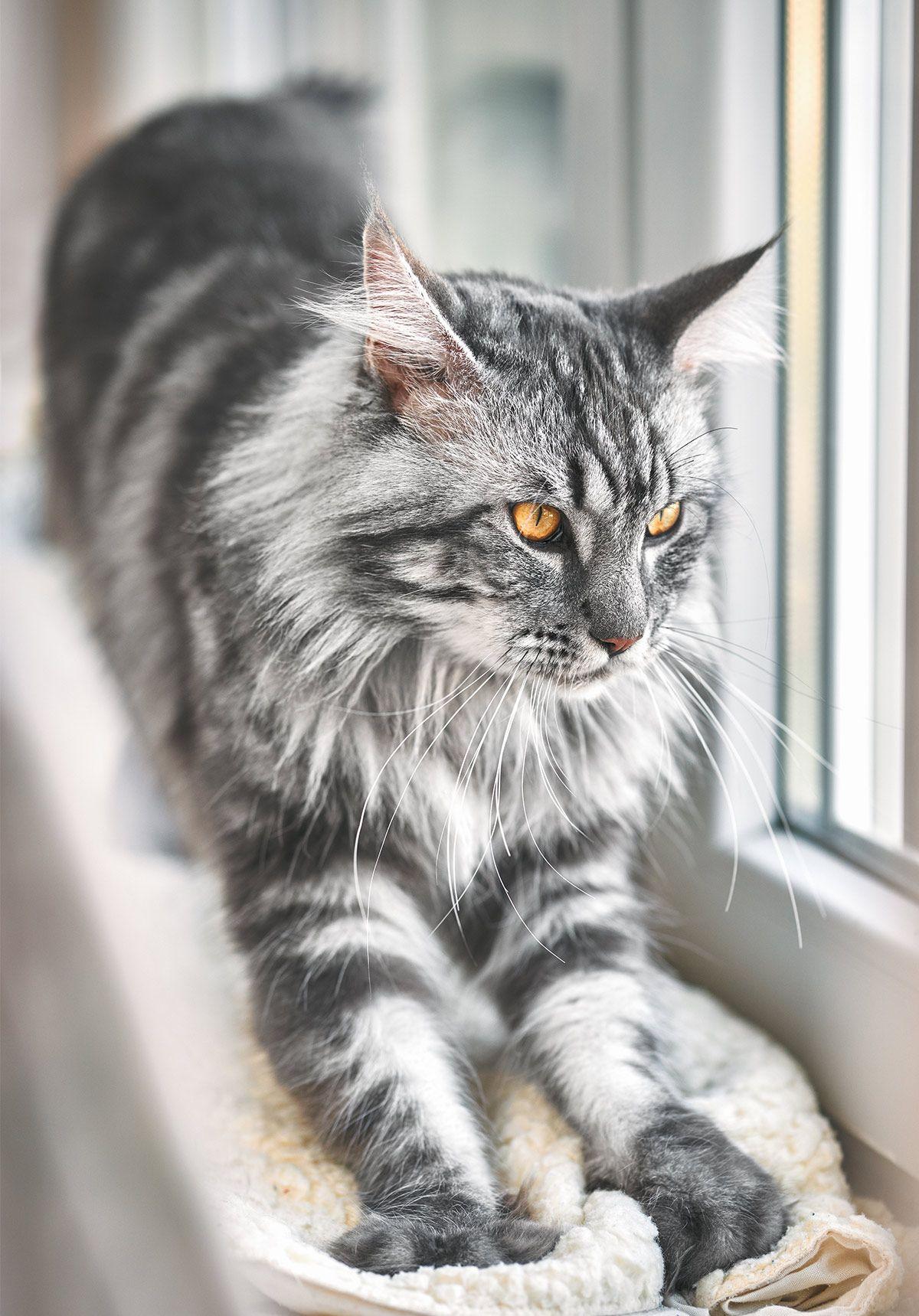 Pin On Maine Coon Kitties